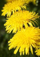 drie gele paardebloemen foto