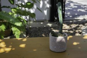 cactus in een pot buiten foto