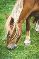 kastanje paard grazen in een weiland foto