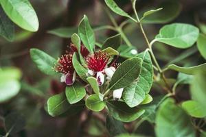 exotische rode bloemen van ananas guaveboom foto