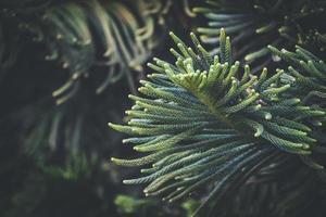 naaldbladeren van de dennenboom van het Norfolkeiland foto