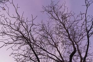 kale takken van een paardenkastanjeboom bij paarse zonsondergang foto