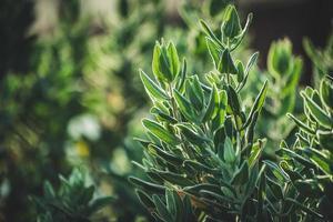 groenblijvende bladeren van rotsroos struik foto