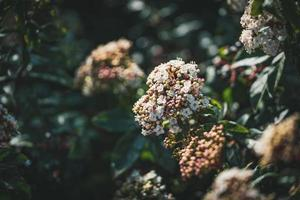 bloemen en knoppen van een viburnum tinus-struik foto