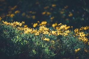 bloemen en knoppen van gele madeliefjes foto