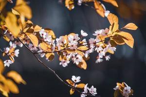bloemen van pruimenboom in het vroege voorjaar foto