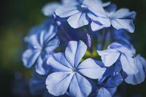 blauwe bloemen van cape leadwort ook wel bekend als blauw plumbago foto