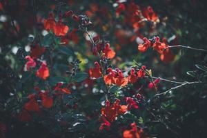 kleine rode bloemen van salie foto