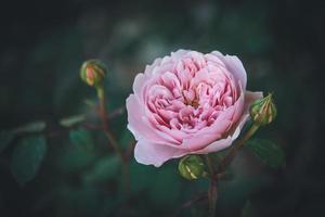 lichtroze roos en knoppen in een tuin foto