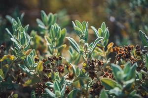 vruchten en groenblijvende bladeren van een rotsroos struik foto