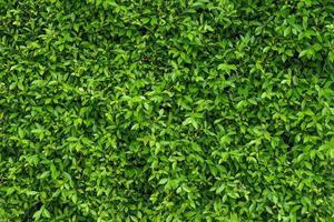 natuurlijke groene lommerrijke muur achtergrond met donkergroen foto