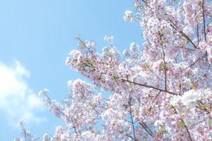 kersenbloesems tegen een blauwe hemel foto