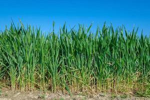 groene maïsplanten onder blauwe hemel foto