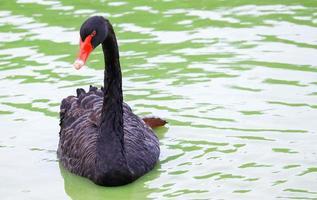 zwarte zwaan op een meer foto