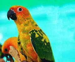 twee zonparkieten papegaaien foto