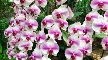 roze en witte orchideeën foto