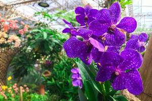 dieppaarse orchideeën foto