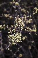 knoppen op een boom foto