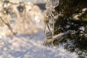 ijspegels op een vuren boomtak foto