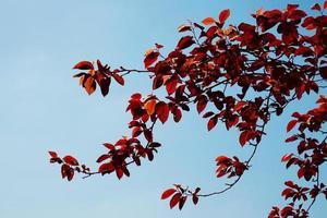 rode boombladeren in het herfstseizoen foto