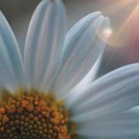witte margrietbloem in de lente foto