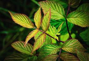 bladeren van een frambozenstruik foto