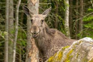 grote vrouwelijke eland met open mond