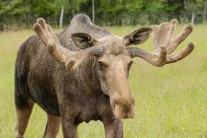 mannelijke eland met groot gewei in een groen veld