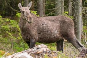 close-up van een zwangere eland in een bos in Zweden