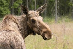 vrouwelijke eland terugkijkend over haar schouder