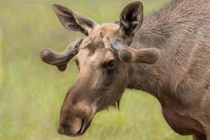 jonge mannelijke eland met een klein gewei dat begint te groeien