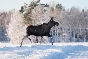 vrouwelijke elanden gracieus draven in de sneeuw