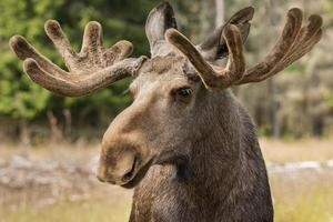 close-up van een grote mannelijke elandbok met groot gewei