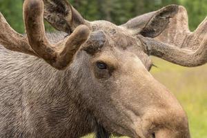 extreme close-up portret van een grote mannelijke eland