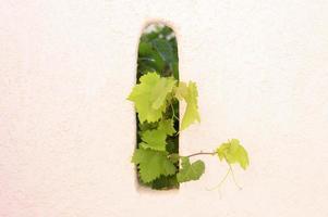 druivenbladeren versieren de muur buiten, steken uit het gat foto