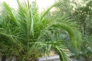 kleine palmboom in de tuin aan zee foto