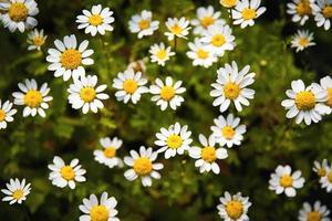 kleine witte margarettebloemen foto