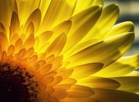 gerbera bloemblaadjes verlicht