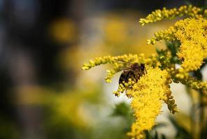 bij op gele bloemen foto