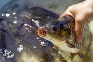 karper vissen in de hand foto