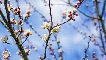 lentebloemen op boomtakken tegen de blauwe hemel