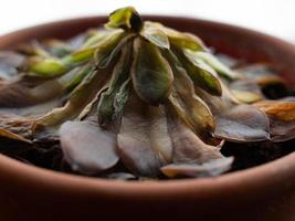 een verwelkte vetplant in een pot, bovenaanzicht