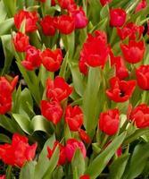 groep rode tulpen