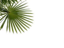palm groen blad geïsoleerd op een witte achtergrond foto