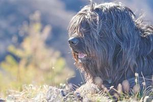 bergamasco herdershond met haar op de ogen foto