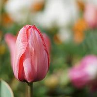 druppels op de rode tulp bloemen in het voorjaar