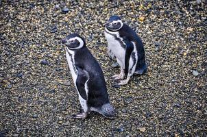 pinguïns in het beagle kanaal in ushuaia, argentinië foto