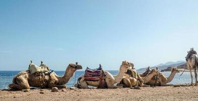 caravan van liggende kamelen foto