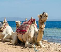 twee kamelen die in het zand liggen foto