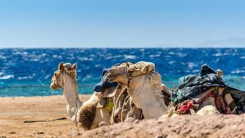 kamelen die op het strand liggen